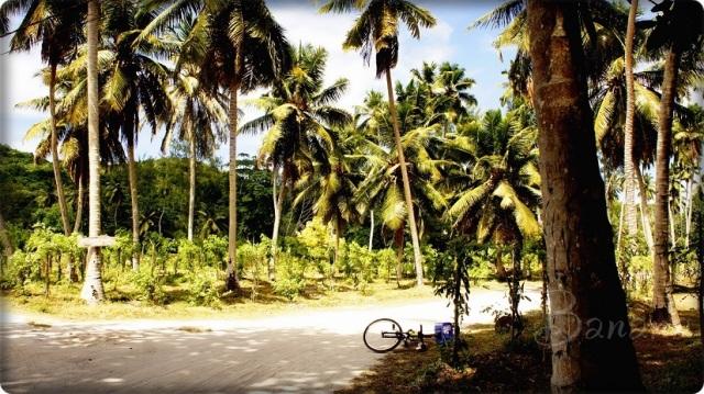 La Digue palm trees