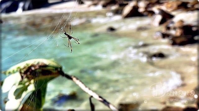 Seychelles spider